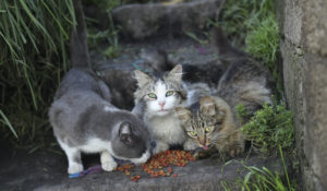 Cats eat food left behind by urban animal, a department of the municipality, during social isolation to prevent the spread of the coronavirus COVID-19 in Quito, Ecuador, Wednesday, April 22, 2020. (AP Photo/Dolores Ochoa)